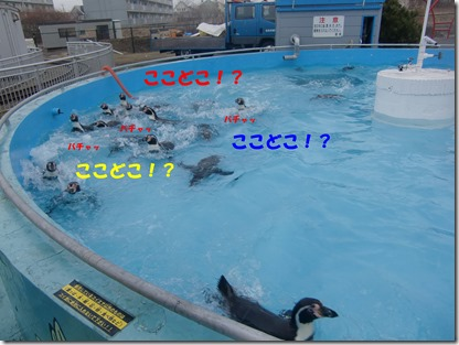 コイ池で泳ぐペンギンたち